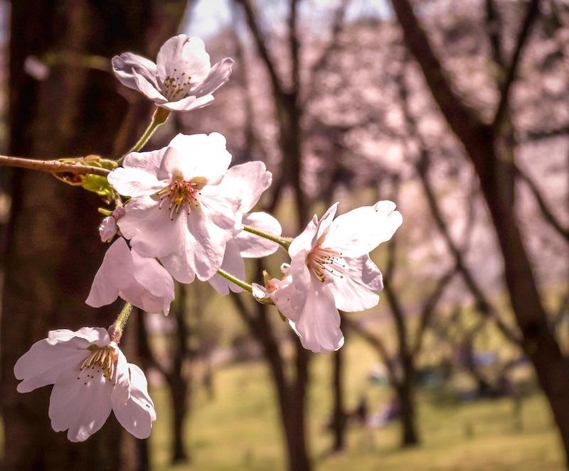 카나가와에서의 꽃구경